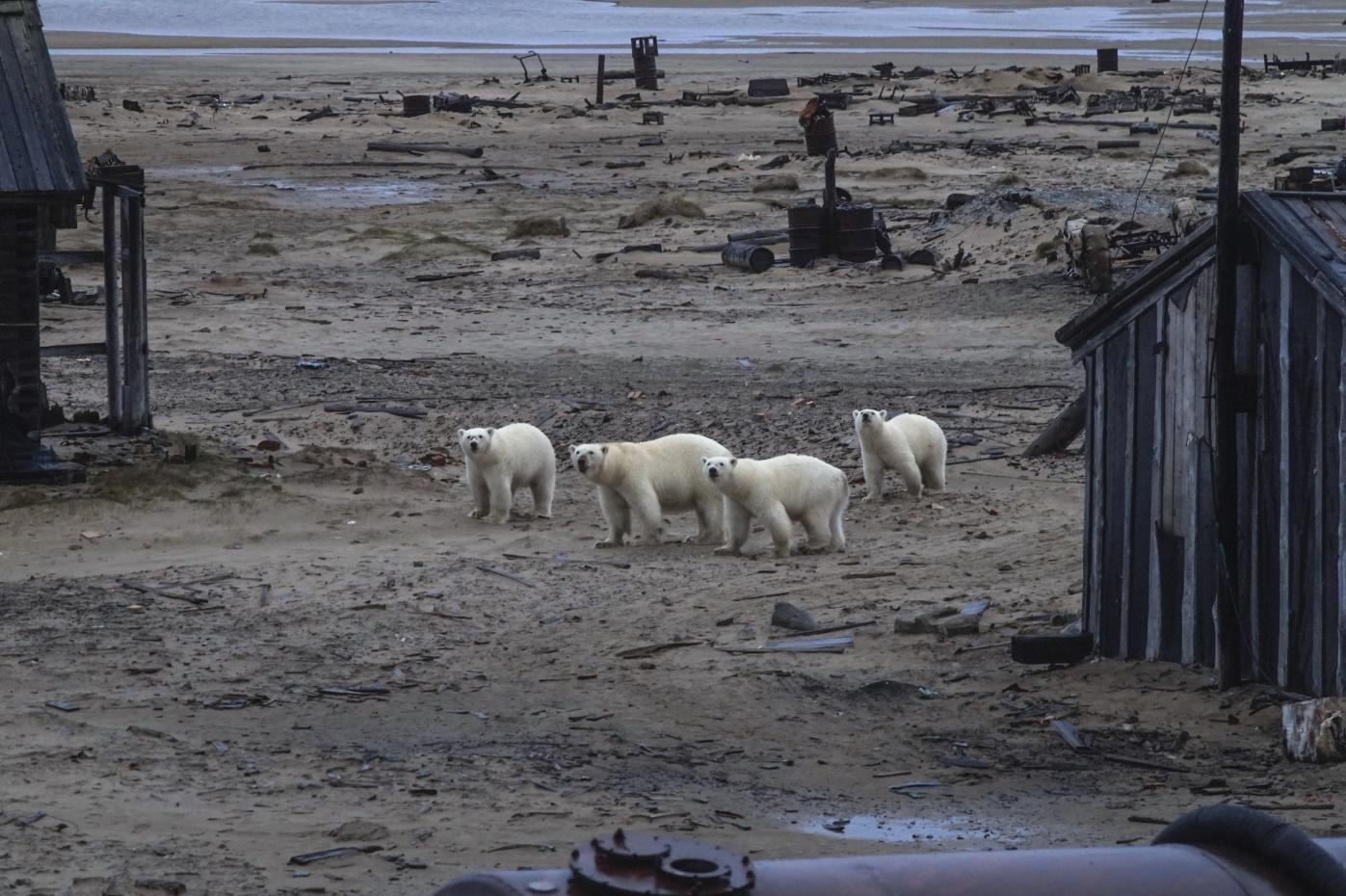 Наострове Вилькицкого к лагерю волонтёров регулярно приходило целое семейство медведей