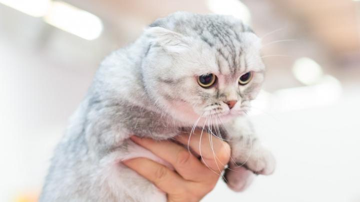 Пушистые выходные на 74.ru: в Челябинске проходит выставка кошек