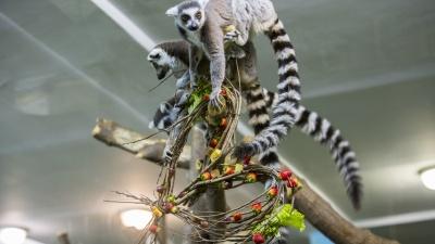 Лемуров в Новосибирском зоопарке накормили на публику — показываем милое видео