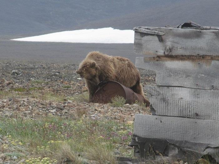 Медведь играется с бочкой и не хочет уходить от лагеря путешественников
