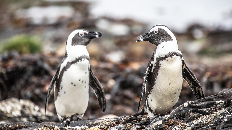 На своём пути экспедиция встречала разных животных, в том числе пингвинов