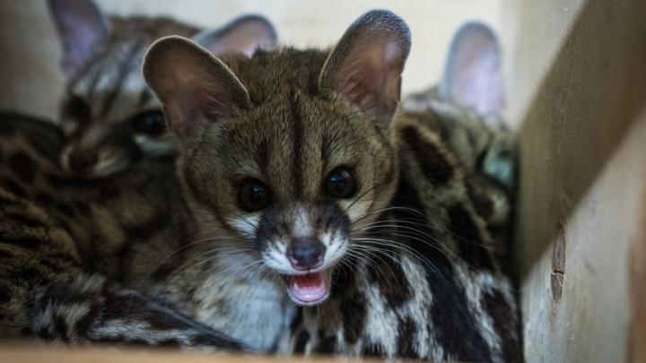 Милых малышей кошачьей генетты в зоопарке теперь можно посмотреть отдельно от родителей