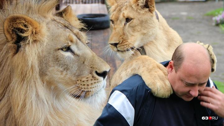 «Зарычит — за 8 км слышно»: как житель Сызрани решился разводить львов