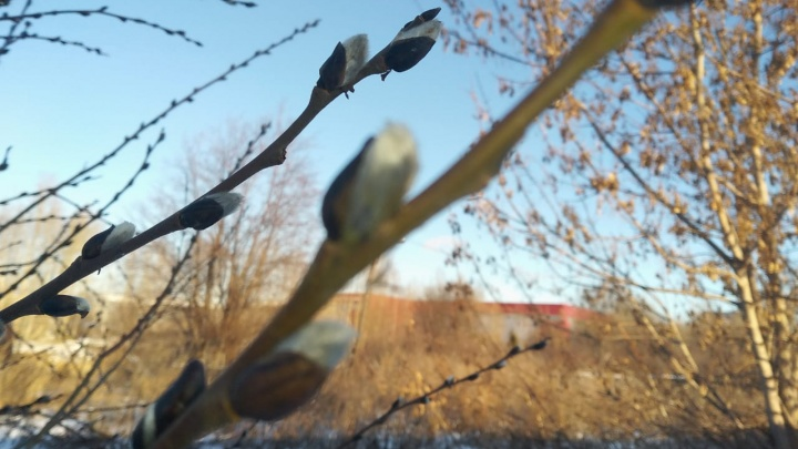 Под Екатеринбургом из-за аномально теплой зимы распустились вербы