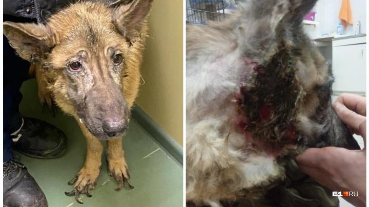 Гноятся уши, неподстриженные огромные когти: волонтеры спасают собаку, которую забрали у екатеринбуржца