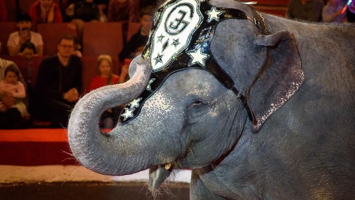 Колесо смерти, голландские фризы и трёхтонные артисты. В Челябинск приехало «Шоу слонов»