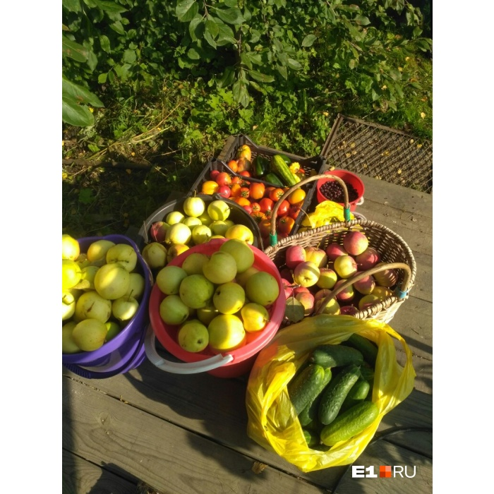 Дачники вырастили очень много яблок