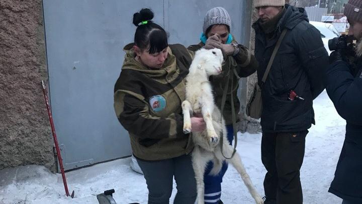 В Ревде МЧС вместе с полицейскими и зоозащитниками спасли коз, которых держали взаперти