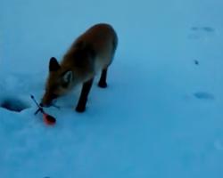 Видео: в Башкирии лиса украла у рыбаков удочки