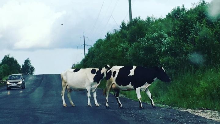 «Животные вышли на трассу в темноте»: в Прикамье рейсовый автобус сбил пять коров