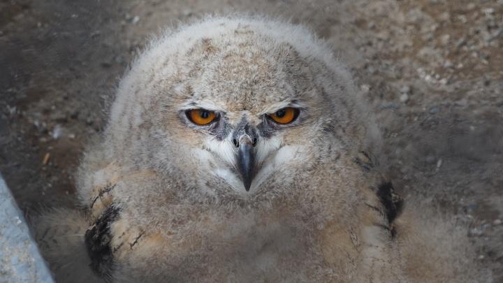 В «Роевом ручье» показали злого совенка и рассказали, почему нужно игнорировать выпавших птенцов
