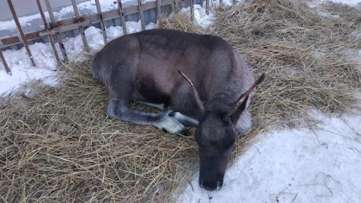 «Нам просто жалко»: дальнобойщик подобрал на трассе северного оленя и приютил его на складе
