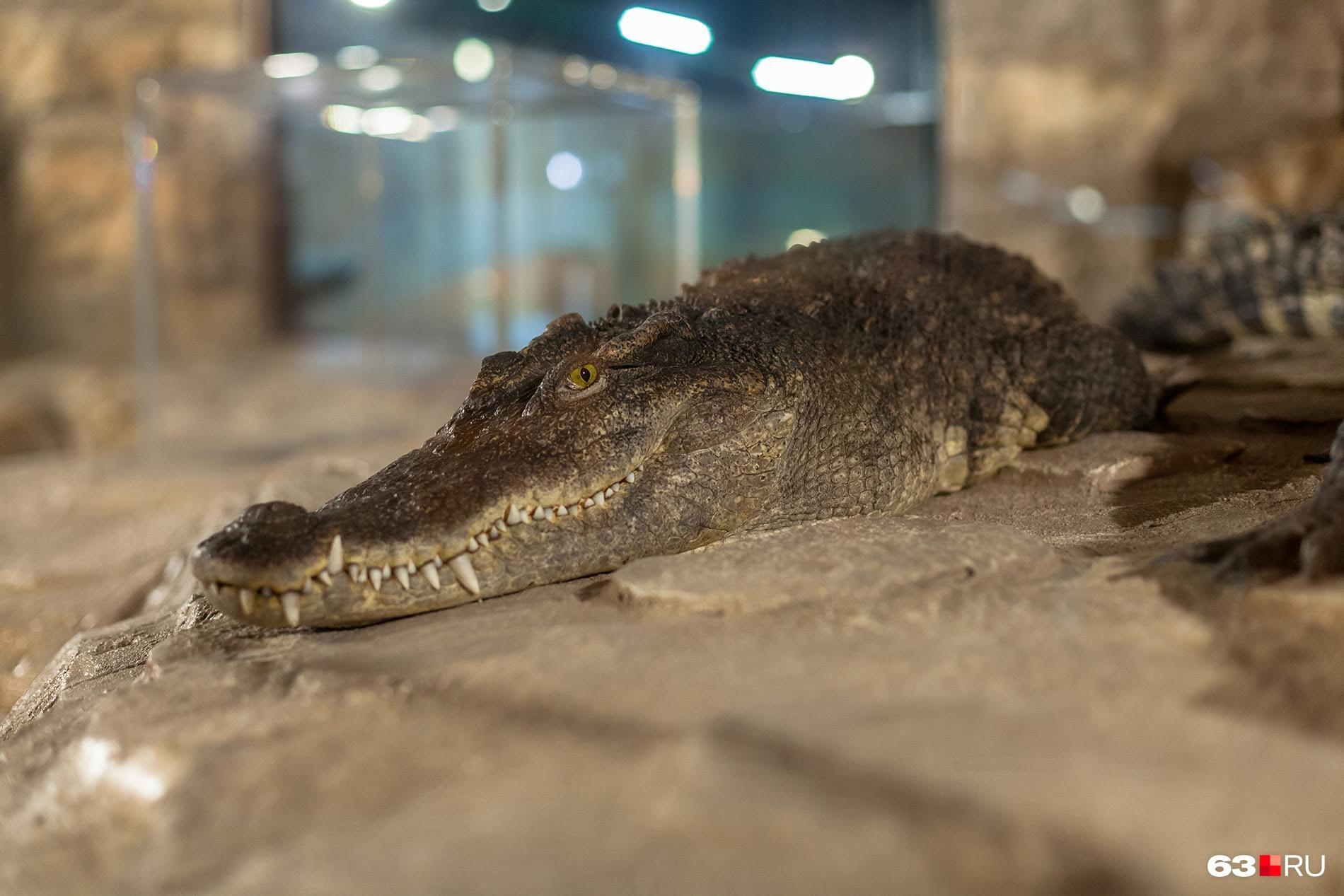 Кубинские крокодилы считаются самыми умными и опасными рептилиями
