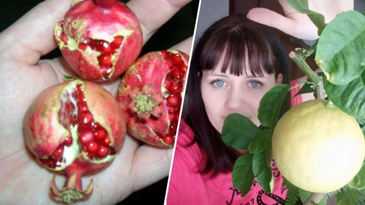 «Аромат на всю квартиру»: жительница Солнечного вырастила на подоконнике урожай гранатов и лимонов