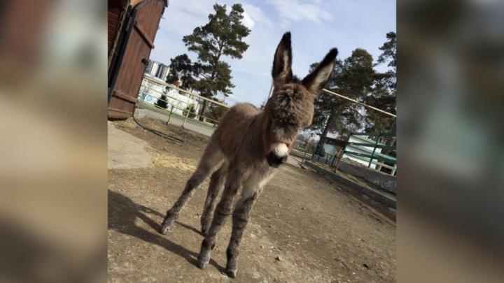 Не Чёлка и не Халва: юной ослице из челябинского зоопарка выбрали имя
