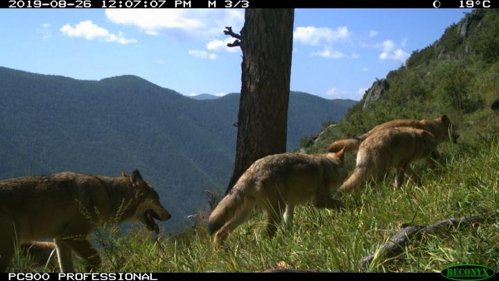 Необычно большую стаю волков обнаружили в Саяно-Шушенском заповеднике