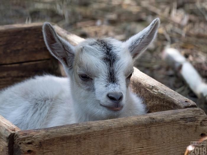 Один из камерунских козлят попался на глаза фотографу Владимиру Шадрину на прошлой неделе