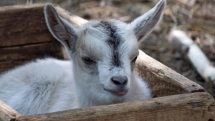 У камерунских коз в Новосибирском зоопарке родились 15 козлят