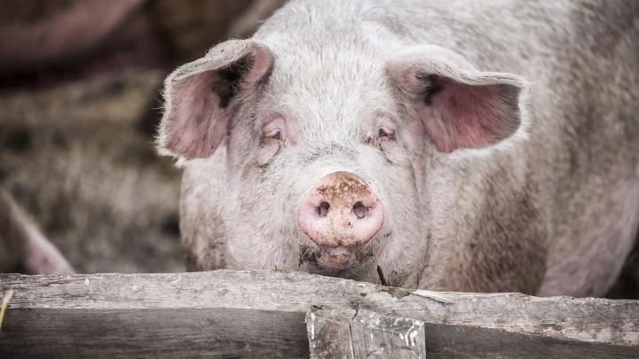 Свиней перепроверили: в Новосибирской области не нашли африканской чумы
