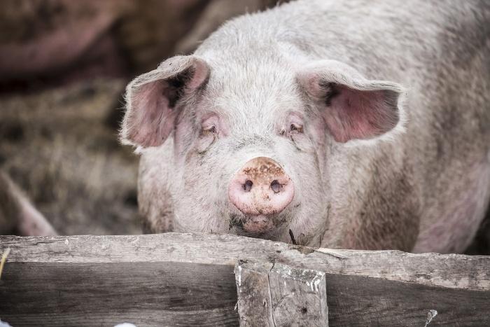 Ветеринары уверены, что у новосибирских свиней нет африканской чумы