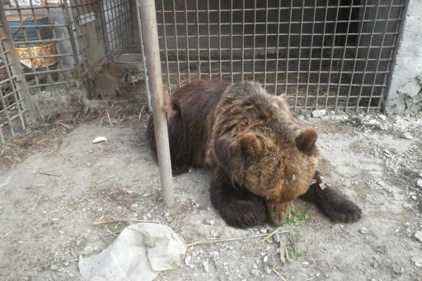 На фотографии медведица, которая и разодрала 46-летнему омичу руку