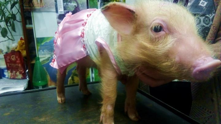 Пермский зоопарк приглашает гостей потрогать пятачок свинки Николь «на удачу»