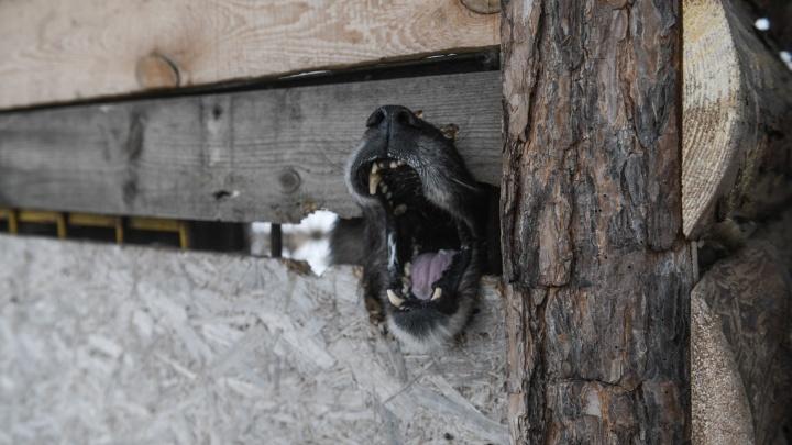 На Урале чиновников заставили заплатить школьнику за укус бродячей собаки и потерянный сон