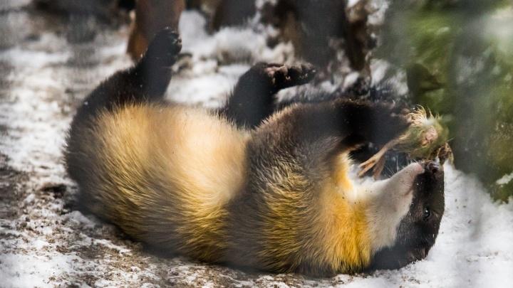 Всем по харзе: Новосибирский зоопарк отправил молодых хищников в три разных города