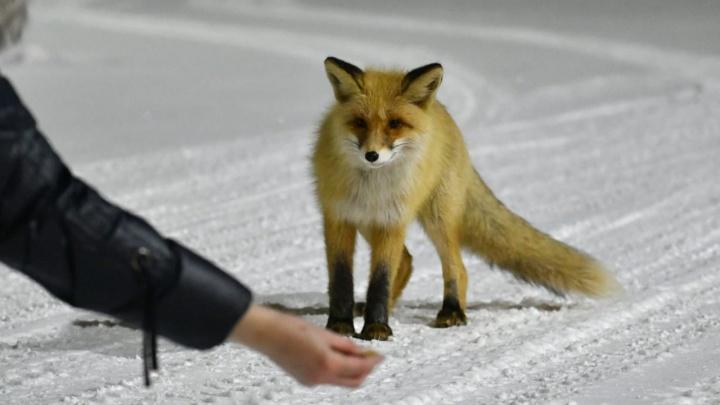 В Омске рядом с нефтезаводом поселилась лиса