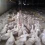 Птичку жалко: в инкубаторе под Челябинском из-за отключения света могут погибнуть тысячи уток