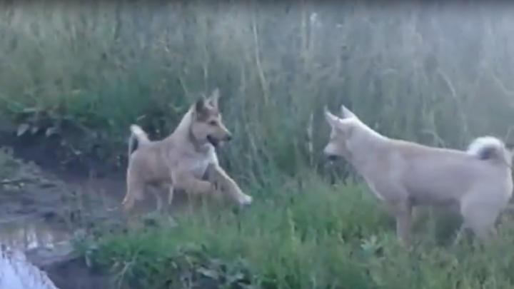 «Хладнокровно убил из машины»: в Прикамье экс-замминистра обвинили в расстреле охотничьих собак