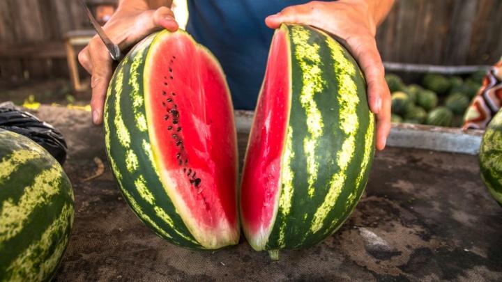 Бахчевое импортозамещение: какие арбузы выращивают в Самарской области?