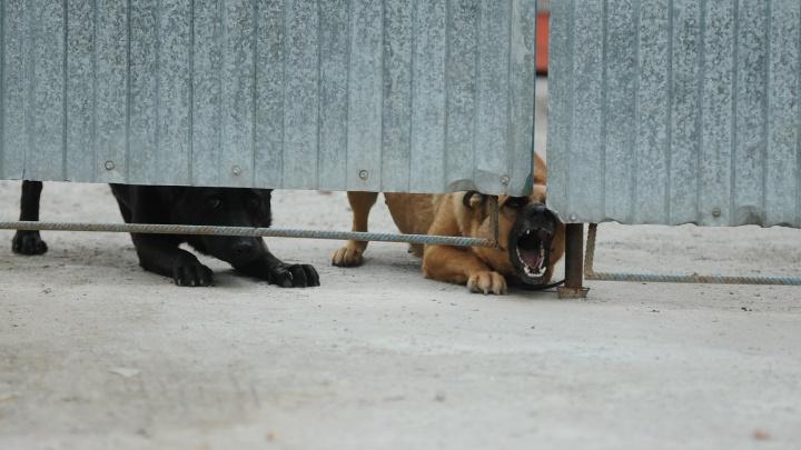 Екатеринбуржца оштрафовали на 3 тысячи за то, что выгуливал бойцовскую собаку без намордника