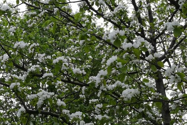 Яблони и черёмуха в этом году начали цвести позже, чем в 2017-м и 2016-м