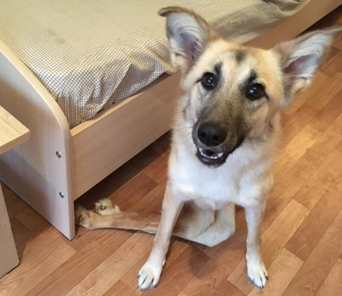Кейре примерно 1,5 года. Валерия надеется, что новосибирские врачи вернут собаке способность ходить