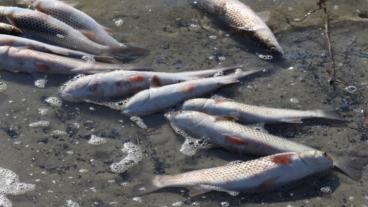 В Росрыболовстве назвали возможную причину массового мора рыбы в Дону