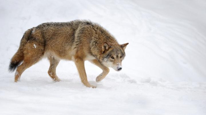 В Курганской области посчитали следы диких зверей на снегу