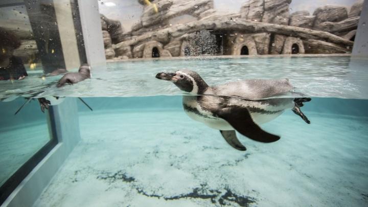 Восьмой пришёл: в новосибирском зоопарке стало на одного пингвина больше