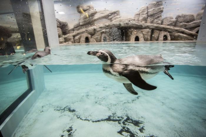 Теперь в Новосибирском зоопарке живут восемь пингвинов