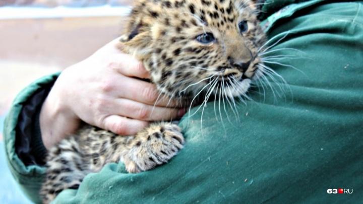 В Самарском зоопарке у леопардов Хана и Фелиции родились котята