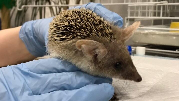 «Хозяйка больше не смогла лечить»: екатеринбургские ветеринары спасают ёжика, у которого выпали зубы