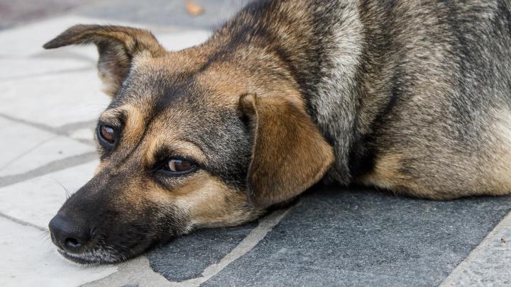 «Собаку поили водкой и травили ядом»: в Волгограде спасают умирающее животное