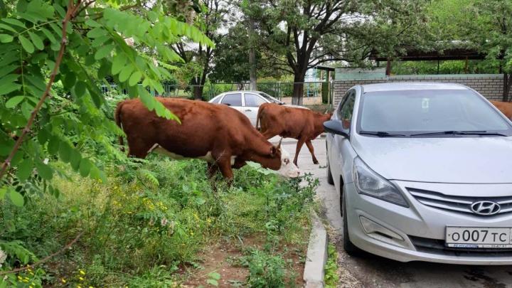 «Услышали наши мольбы»: в Волгограде заблудившееся стадо коров поработало вместо коммунальщиков