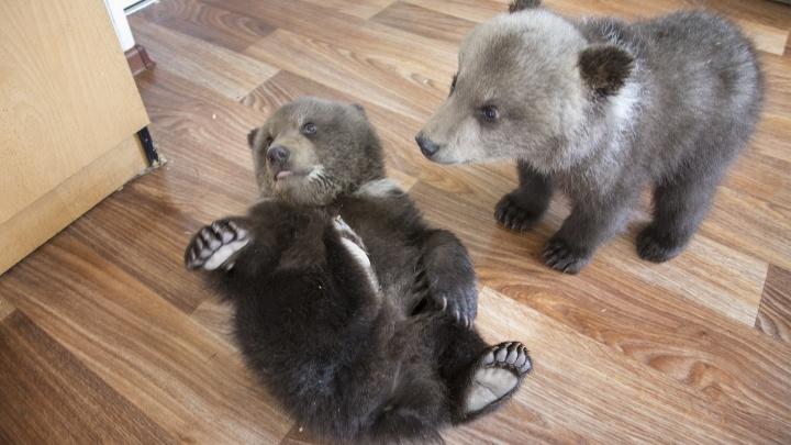 Уфимцам предложили придумать имена медвежатам из парка Лесоводов Башкирии