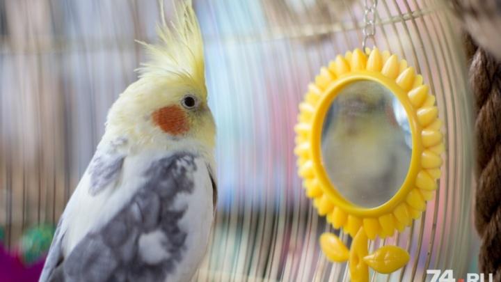 «Свистать всех наверх!»: в челябинском «Детском мире» появился попугай-пират