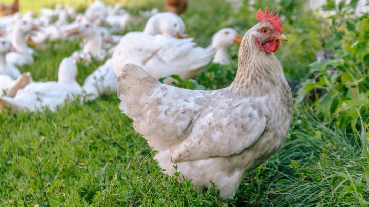 В Самарской области купировали очаги распространения птичьего гриппа