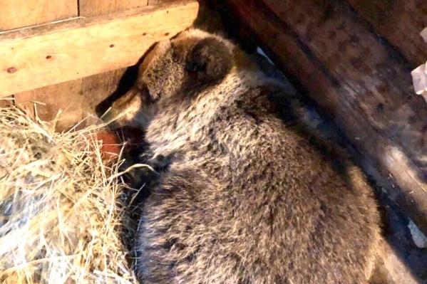 Медвежонка поселили в бане у одного из местных охотников
