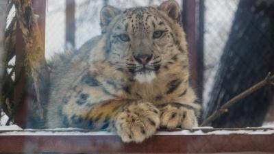 Милота дня: Пермский зоопарк показал видео, на котором барсенок делает лапой «пуф-пуф»