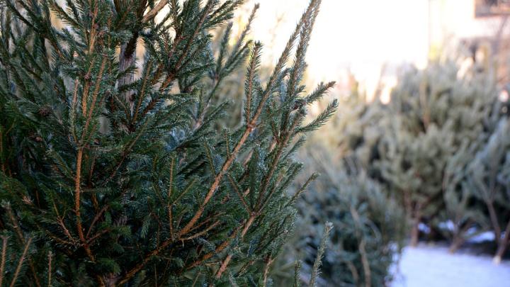 В Кургане продавать новогодние елки начнут с 15 декабря