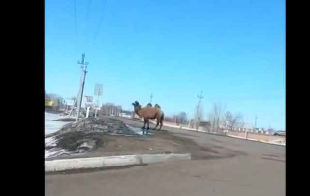 В Башкирии по улице бегал верблюд